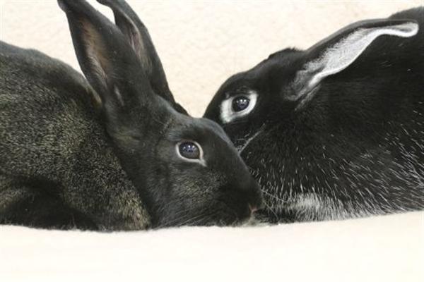 Adopt Izzy a Satin