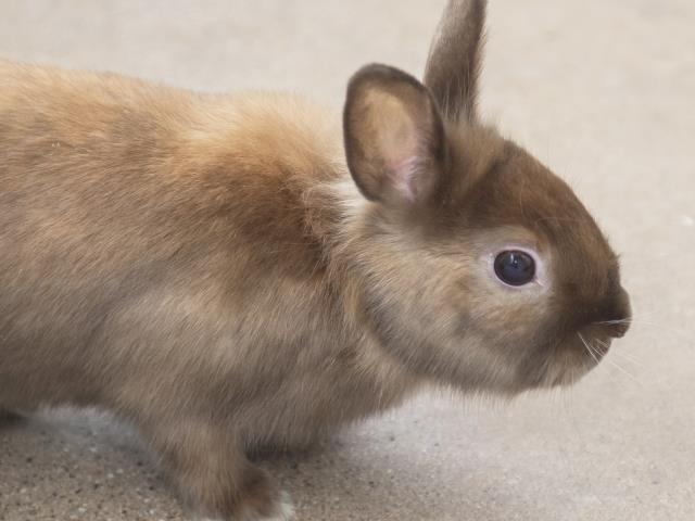 Adopt TATER a Bunny Rabbit, Lionhead