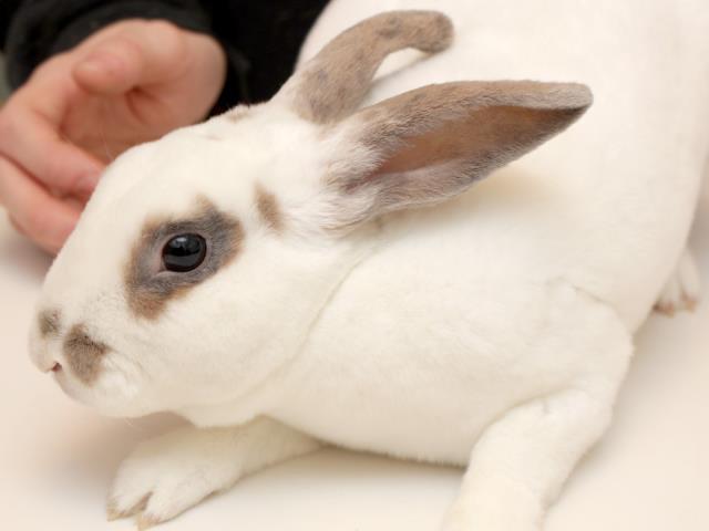 Adopt THOR a Bunny Rabbit, Rex