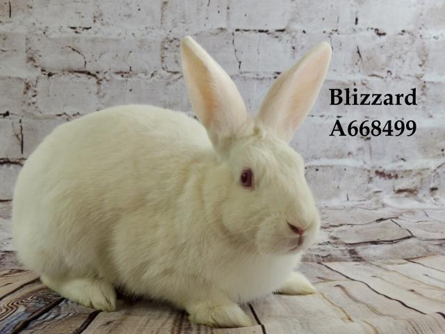 Adopt BLIZZARD a Bunny Rabbit