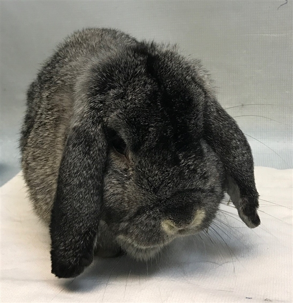 Adopt Bill a Holland Lop