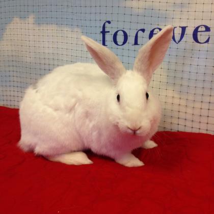 Adopt Cadabra a American, Bunny Rabbit