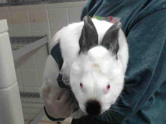 Adopt SNUGGLES a Bunny Rabbit