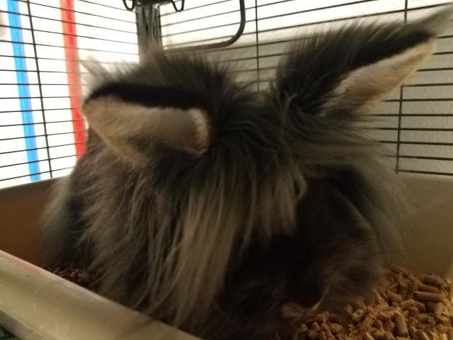 Adopt DIANA a Bunny Rabbit
