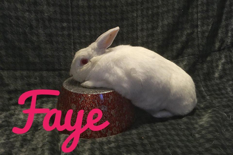 Adopt Faye a Satin, Florida White