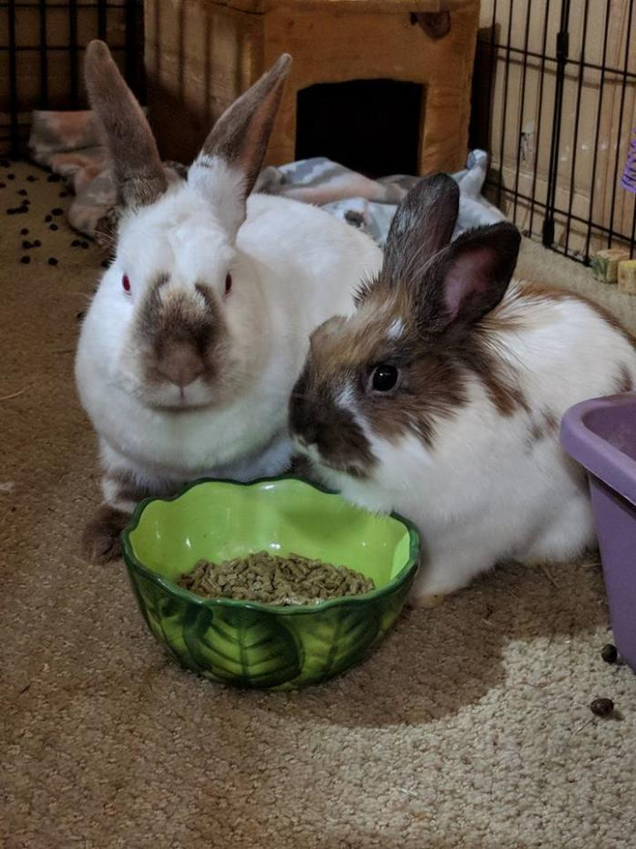 Adopt Echo and Radar a Californian, Lionhead