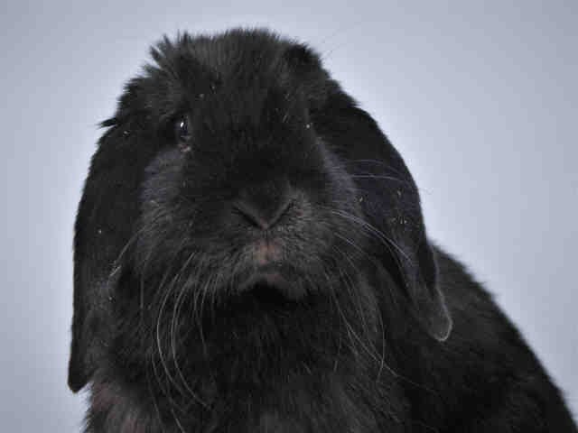 Adopt RUMPLE BUN BUN a English Lop