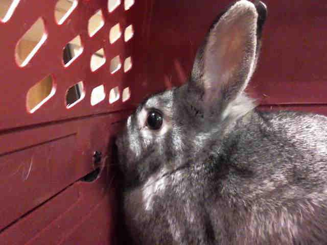Adopt TESS a Bunny Rabbit