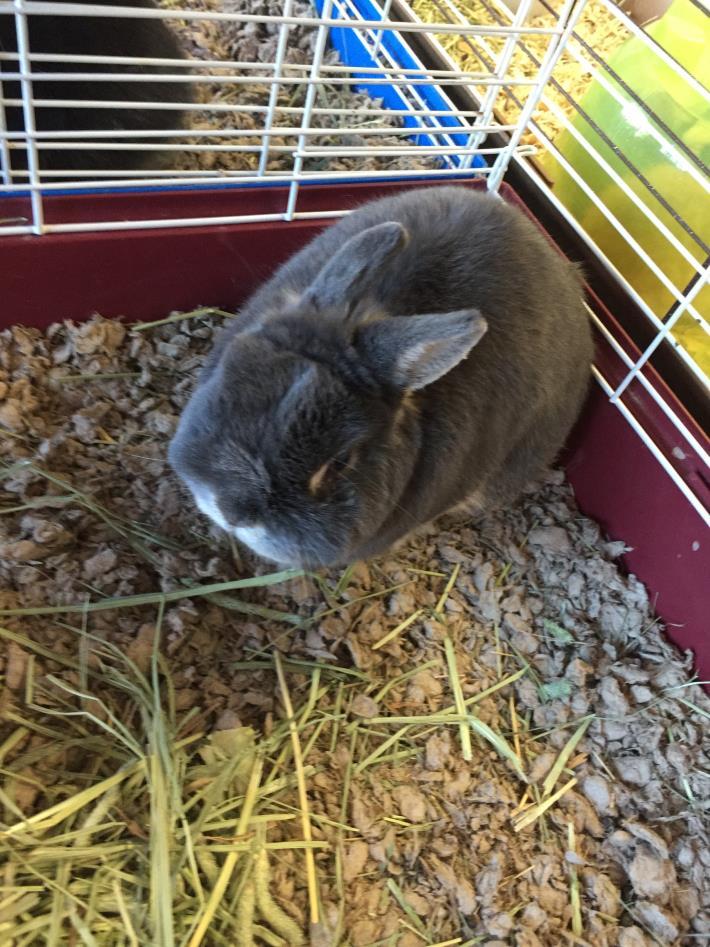 Adopt Thumper a Netherland Dwarf