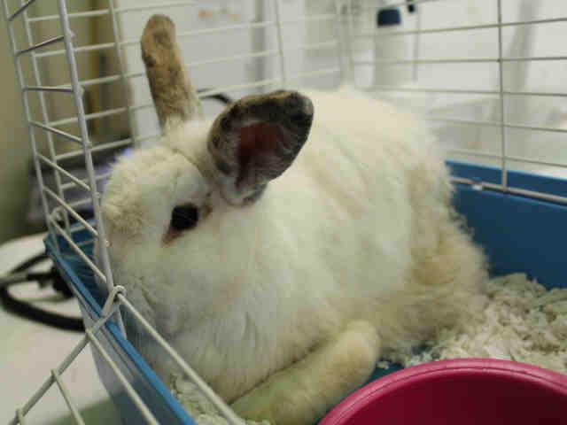 Adopt A1753746 a Bunny Rabbit