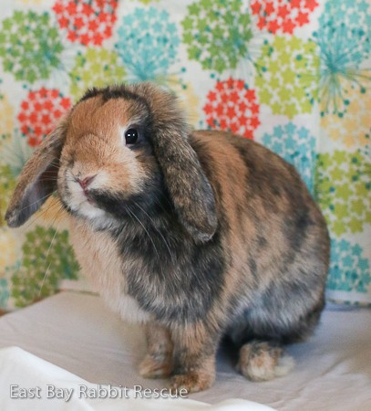 Adopt Suki a Harlequin Mini Lop / Mixed (short coat) rabbit in Livermore