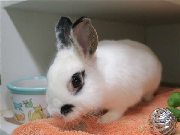 Adopt Lana a Other/Unknown / Mixed (short coat) rabbit in New York