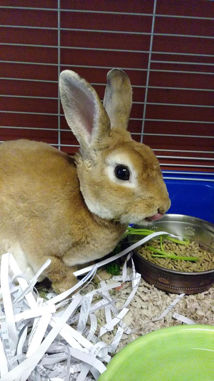 Adopt Benjamin Bunny a Tan Other/Unknown / Mixed rabbit in Merriam
