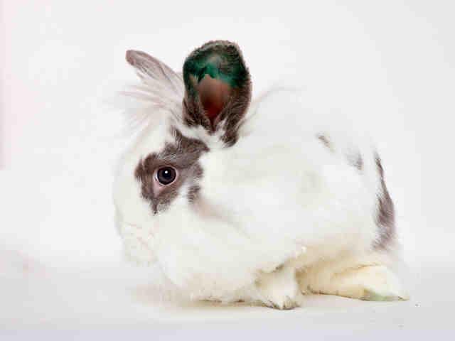 Adopt LILAH a Bunny Rabbit