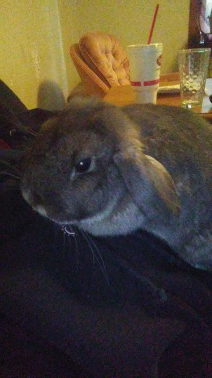 Adopt Poppy a Lop Eared