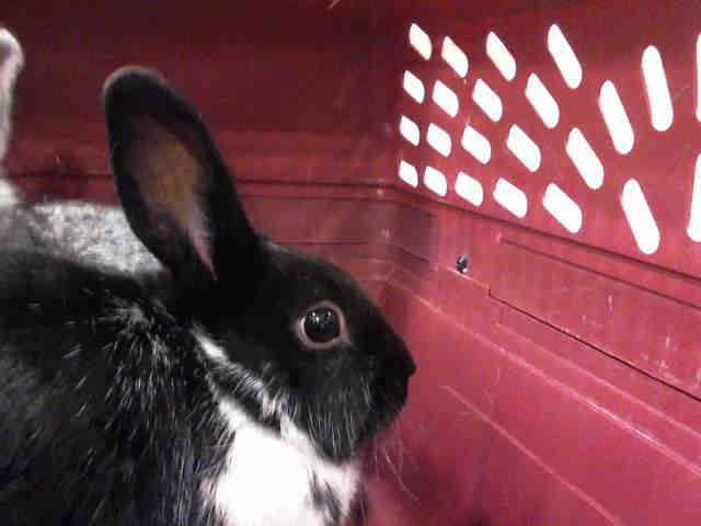 Adopt ROSIE a Bunny Rabbit