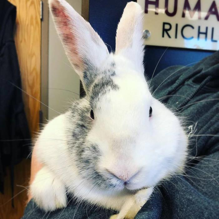 Adopt Jefferson Airplane a Flemish Giant