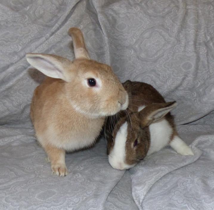 Adopt Walnut and Pistachio a Dutch, English Spot