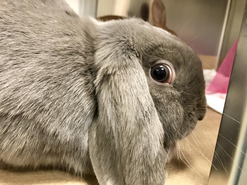 Adopt EEYORE a French Lop