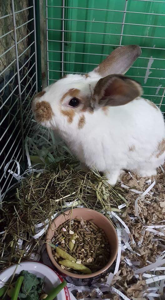 Adopt Chomps a Lop Eared