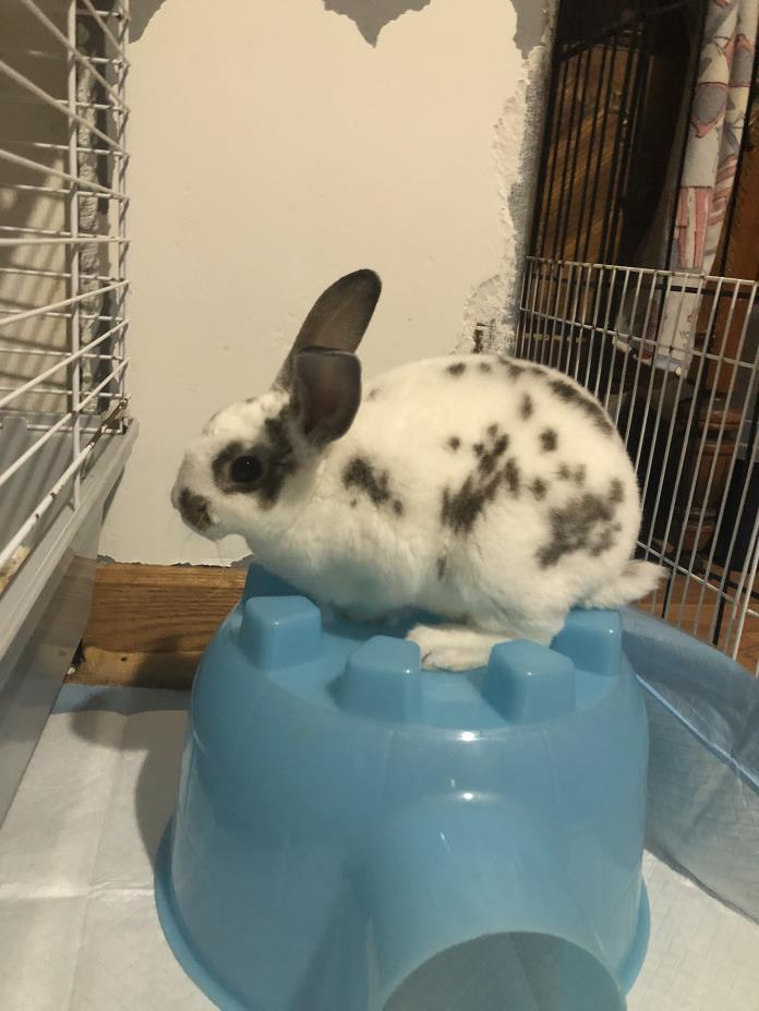 Adopt Bunnies! a Mini Rex