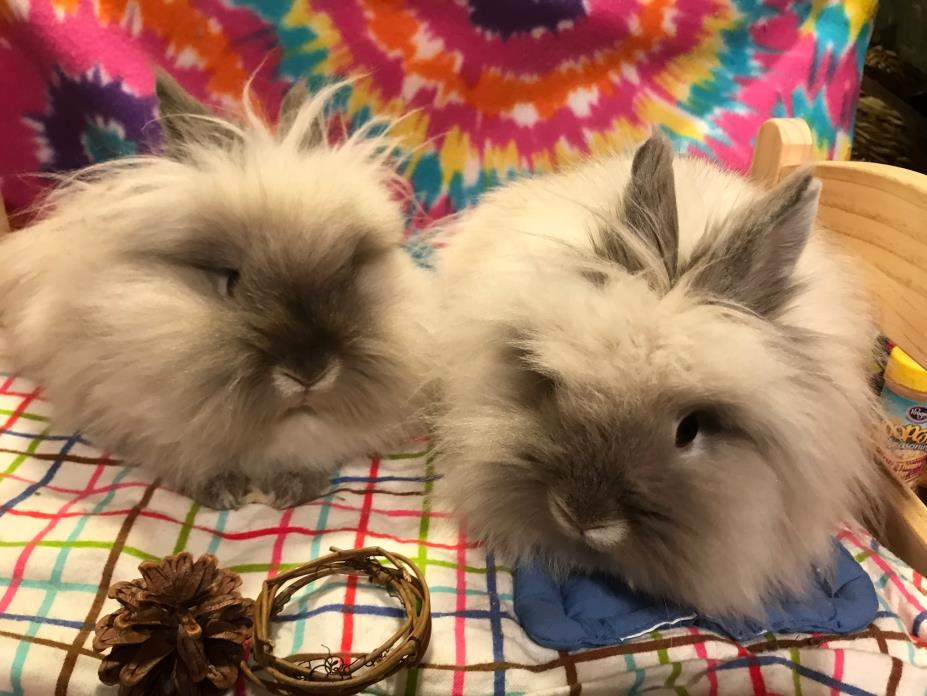Adopt Juniper and Pickle (bonded pair) a Lionhead, Angora Rabbit