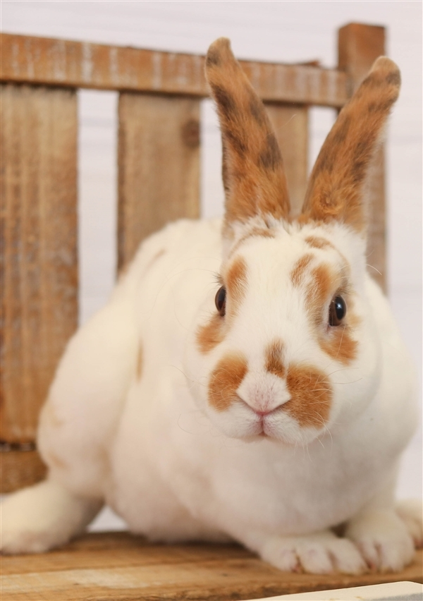 Adopt Exotic Other a Mini Rex