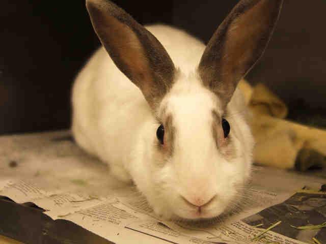Adopt BLUE a Bunny Rabbit