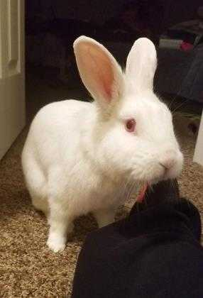 Adopt Murphy a White Lionhead / American / Mixed rabbit in Dayton, OH (20501185)