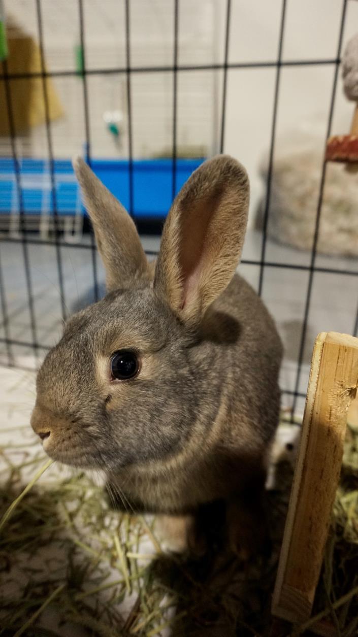 Adopt Bugs a Bunny Rabbit