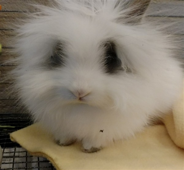 Adopt Forrest a Angora, English / Mixed rabbit in Versailles, KY (20496908)