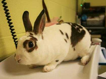 Adopt Bullseye a White Mini Rex / Mixed rabbit in Green Bay, WI (20493477)