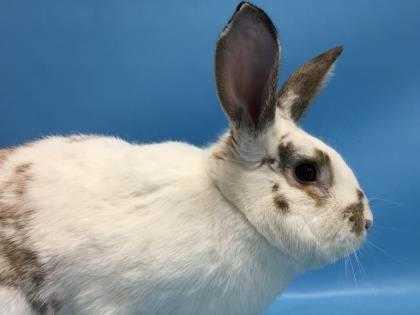 Adopt Meiko a White English Spot / Mixed rabbit in Golden Valley, MN (20576714)