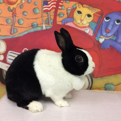 Adopt Cupid a Black American / Other/Unknown / Mixed rabbit in Milwaukee