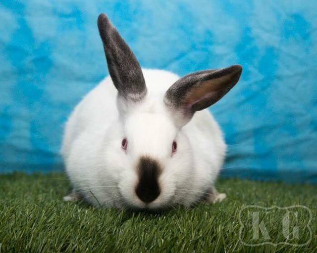 Adopt Parsley a Californian / Mixed (short coat) rabbit in Pflugerville
