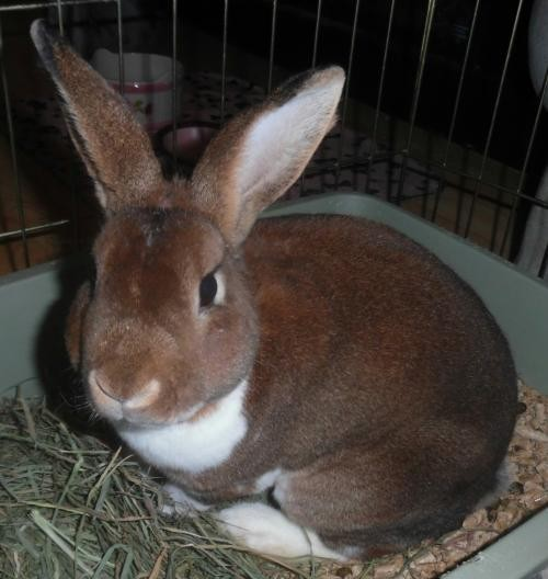 Adopt JOEY a Rex / Mixed (short coat) rabbit in Newport, KY (20710043)