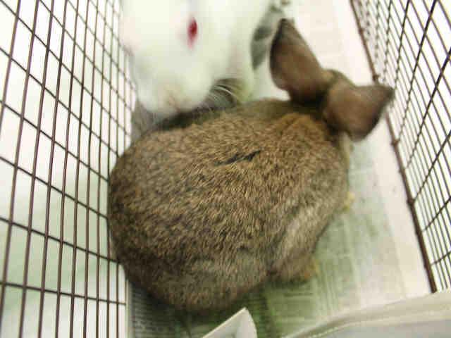 Adopt A1748851 a Bunny Rabbit