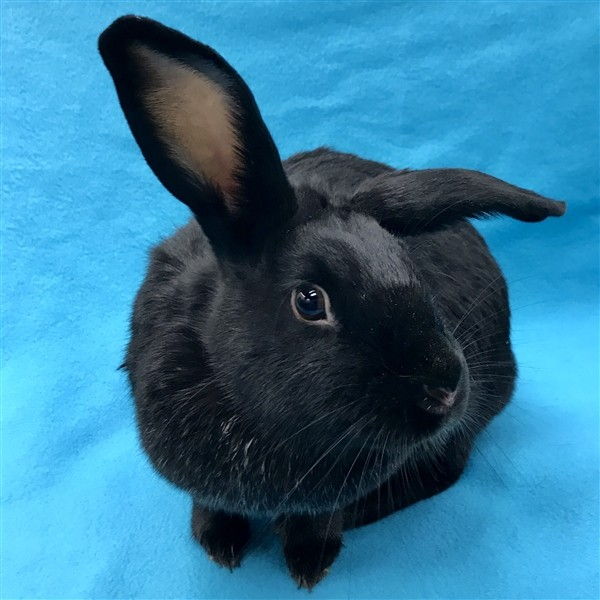 Adopt Peepo a New Zealand / Mixed rabbit in Des Moines, IA (20711770)
