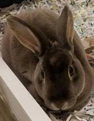 Adopt Carter a Grey/Silver Rex / Mixed rabbit in DeKalb, IL (20711809)