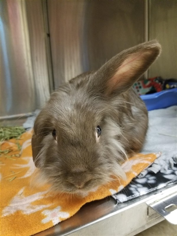 Adopt Nala a Lionhead / Mixed rabbit in Westland, MI (20713517)
