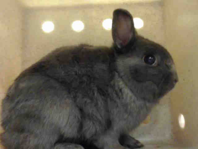 Adopt FLUFFY a Bunny Rabbit