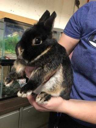 Adopt Peppa a Black Netherland Dwarf / Mixed rabbit in Kansas City