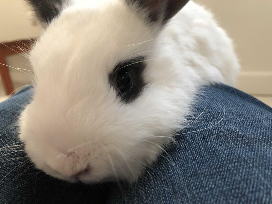 Adopt Lapis a White Netherland Dwarf / Mixed (medium coat) rabbit in Edinburg