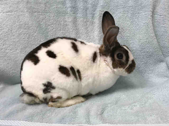 Adopt *ROGER a White Other/Unknown / Mixed rabbit in Upper Marlboro