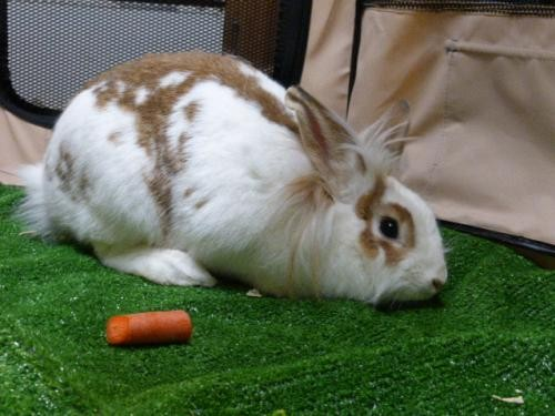 Adopt Dolly a Multi Other/Unknown / Mixed (medium coat) rabbit in Conway