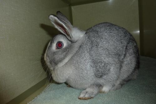 Adopt 116948 a Grey/Silver Other/Unknown / Mixed rabbit in Olympia