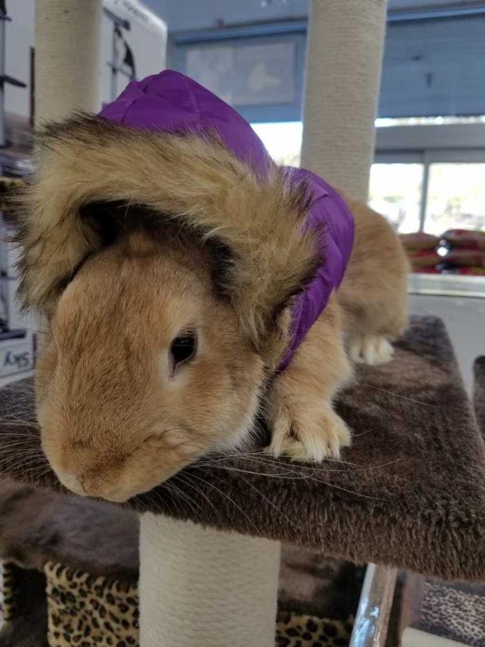 Adopt Rusty a Fawn Palomino / Mixed rabbit in Morgan Hill, CA (20532768)