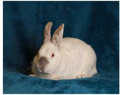 Adopt Christian a White Other/Unknown / Other/Unknown / Mixed rabbit in