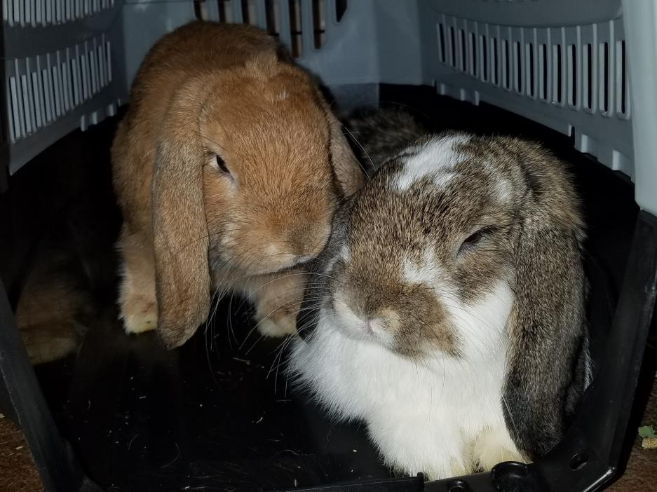 Adopt Pheonix & Axel a Holland Lop