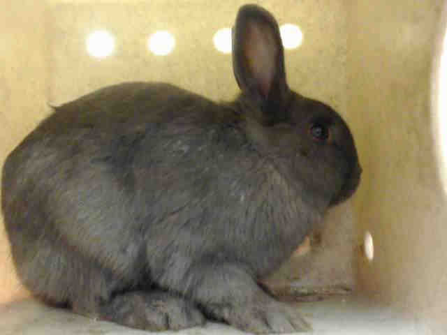 Adopt SHADOW a Bunny Rabbit
